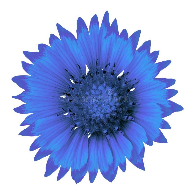 Fiorisca il gaillardia dei blu cerulei isolato su un fondo bianco Primo piano immagini stock libere da diritti