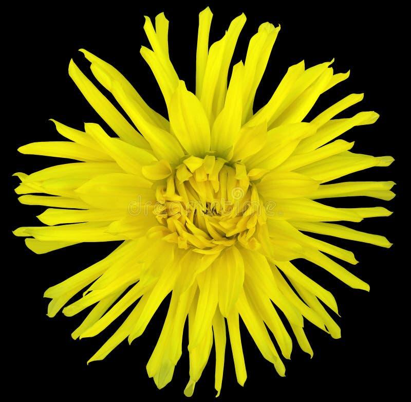 Fiorisca il giallo su un fondo nero isolato con il percorso di ritaglio closeup grande fiore irsuto aster fotografie stock libere da diritti