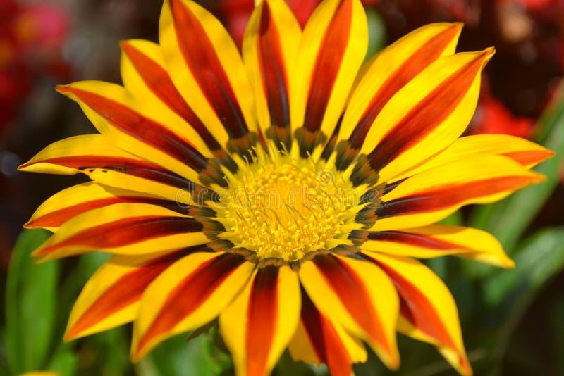 fiorisca, ingiallisca, natura, il girasole, il giardino, l'estate, la pianta, il verde, l'arancia, i fiori, la margherita, la mac fotografie stock