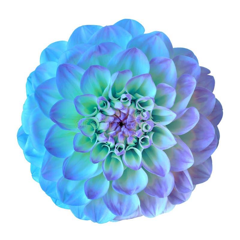 Fiorisca la ciano dalia lilla blu isolata su fondo bianco Primo piano fotografia stock