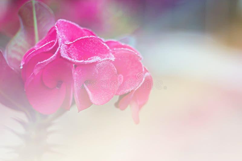 Fiorisca la corona delle spine, Cristo Thorn Thailand di milli dell'euforbia fotografie stock