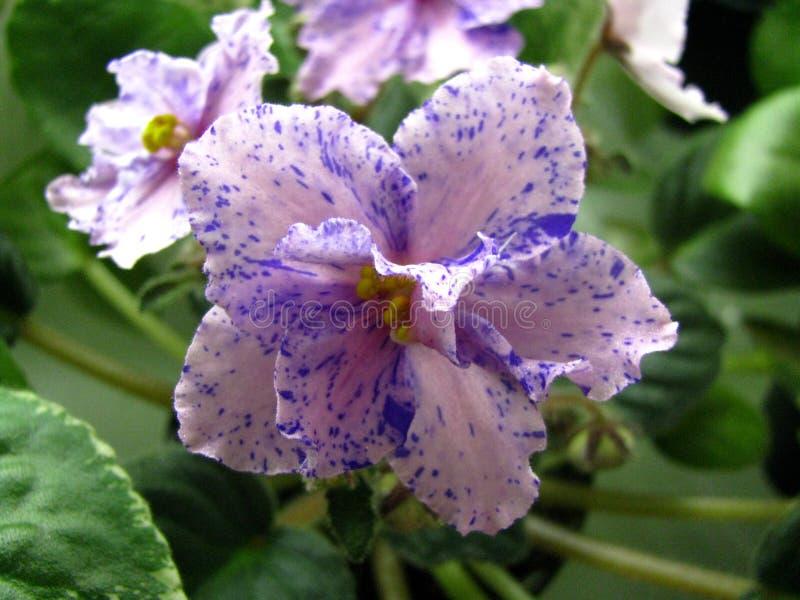 Fiorisca la stella rosa-chiaro con colore porpora di fantasia che fiorisce sul fondo verde immagine stock libera da diritti