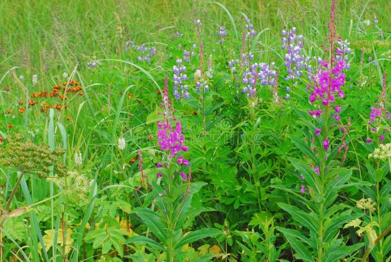 FIORISCE i bei Wildflowers dell'estate dell'Alaska immagini stock libere da diritti
