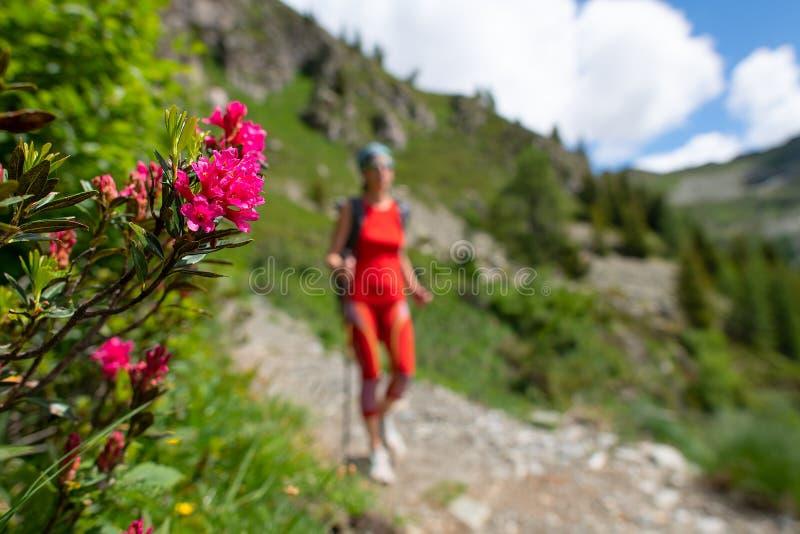 Fiorisce i rododendri sulla traccia mentre passano una ragazza su un'escursione immagini stock