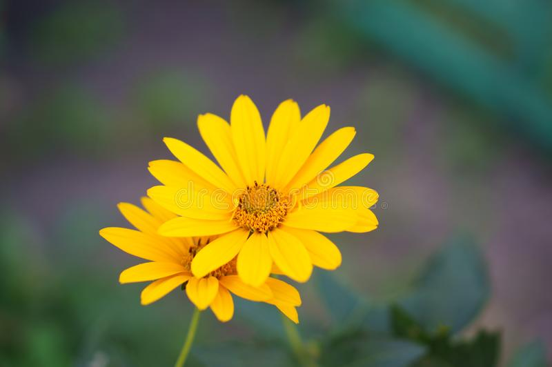 fiorisce il colore giallo di heliopsis immagini stock libere da diritti