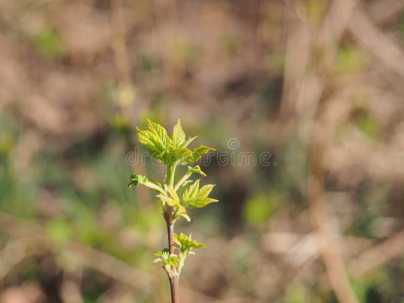 Fiorisce l'acero americano Le giovani foglie dell'albero It& x27; molla di s fotografia stock