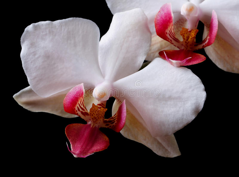 Fiorisce l'orchidea bianca isolata su fondo nero. fotografia stock libera da diritti