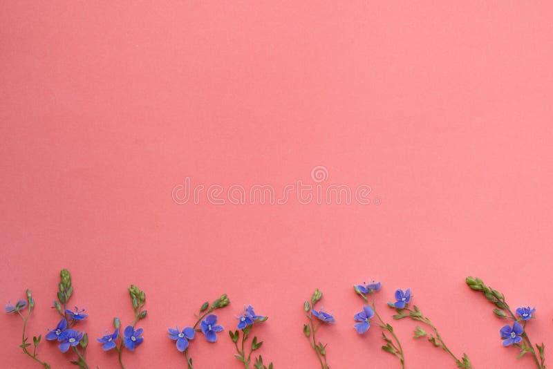 Fiorisce la composizione Modello fatto di piccoli fiori blu selvaggi su fondo di corallo fotografie stock