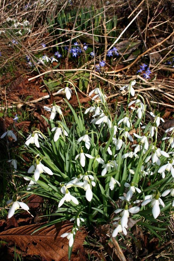 fiorisce la foresta, snowdrops bianchi   immagini stock