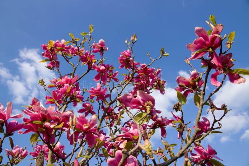 fiorisce la porpora della magnolia fotografie stock libere da diritti
