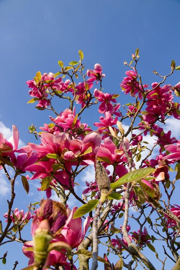 fiorisce la porpora della magnolia fotografia stock