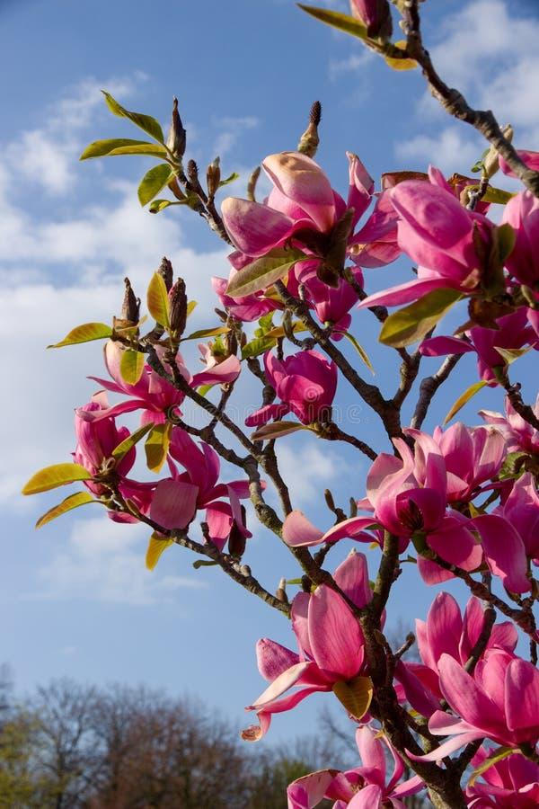 fiorisce la porpora della magnolia immagini stock