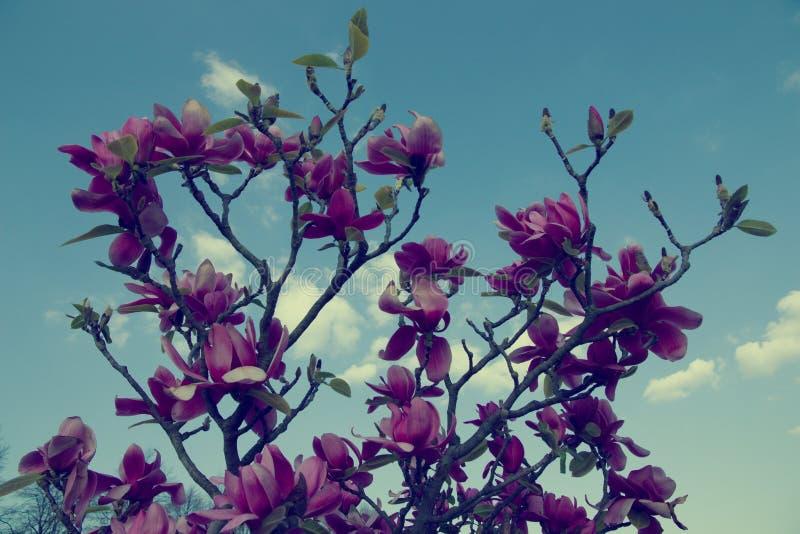 fiorisce la porpora della magnolia immagini stock libere da diritti