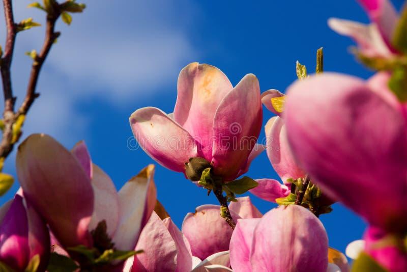 fiorisce la porpora della magnolia fotografia stock libera da diritti