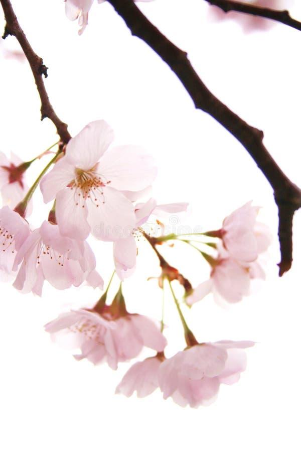 In fioritura fotografie stock