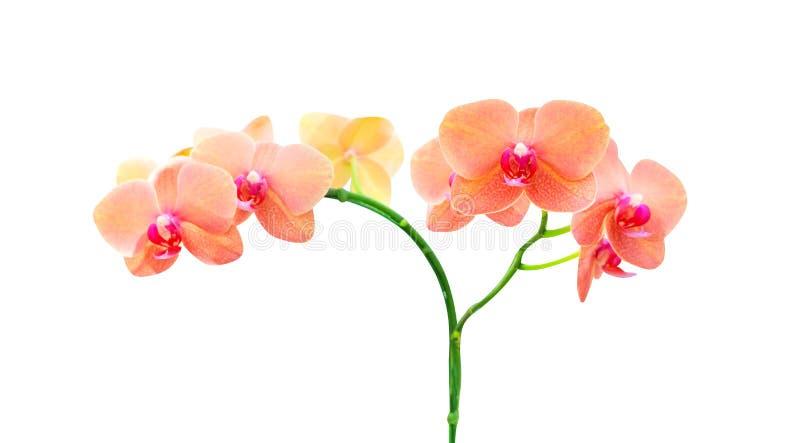 Fioritura arancio delle orchidee di phalaenopsis dei fiori variopinti isolata su fondo bianco fotografia stock libera da diritti