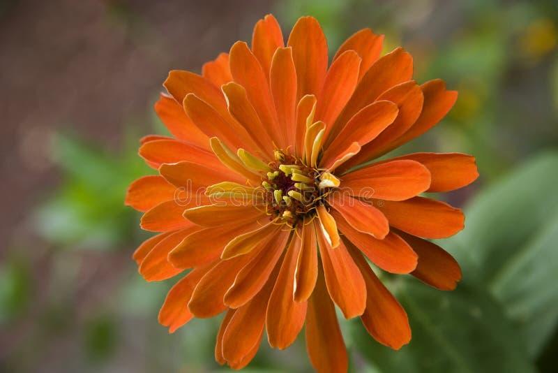 Fioritura arancione di Zinnia fotografia stock libera da diritti