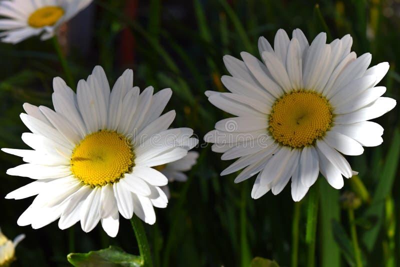Download Fioritura Camomilla Campo Di Fioritura Della Camomilla Fotografia Stock - Immagine di herbal, salute: 117979222