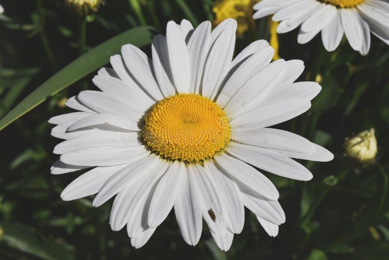 Download Fioritura Camomilla Campo Di Fioritura Della Camomilla Immagine Stock - Immagine di fioritura, campo: 117979599