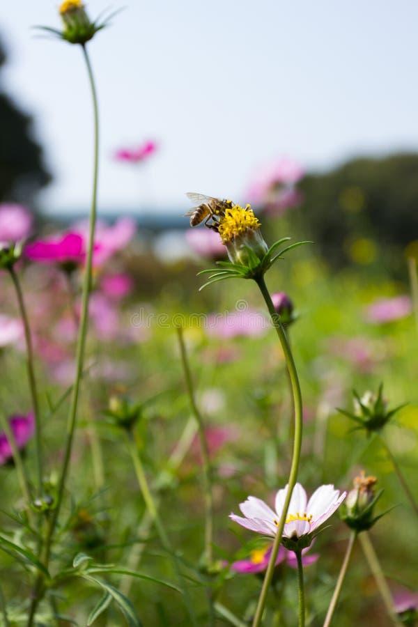 Fioritura Colourful del fiore di calliopsis immagini stock