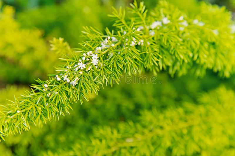 Fioritura dei fiori con le foglie verdi su sfondo naturale Ramifichi con il fiore bianco, molla Fiore, fioritura, fiorente fotografia stock