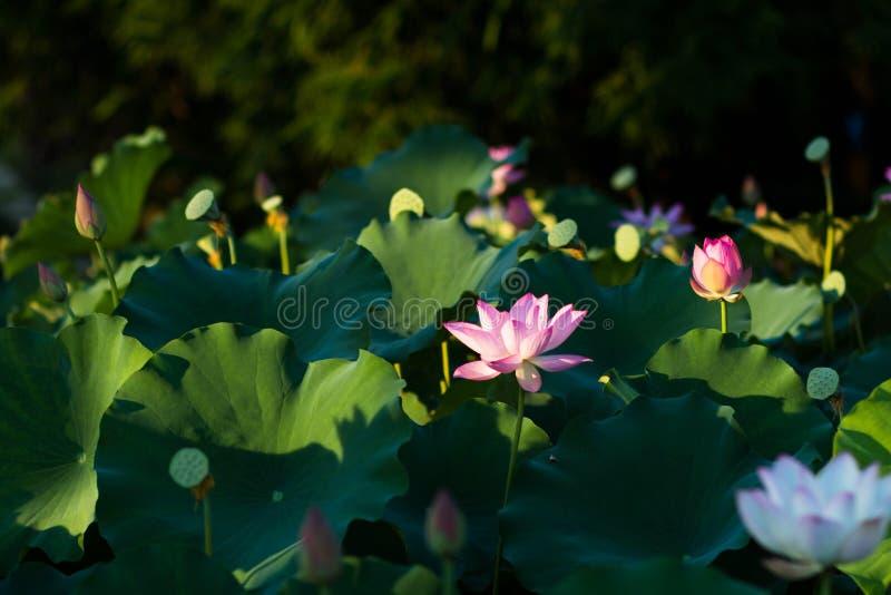 Fioritura dei fiori di Lotus nel parco fotografia stock