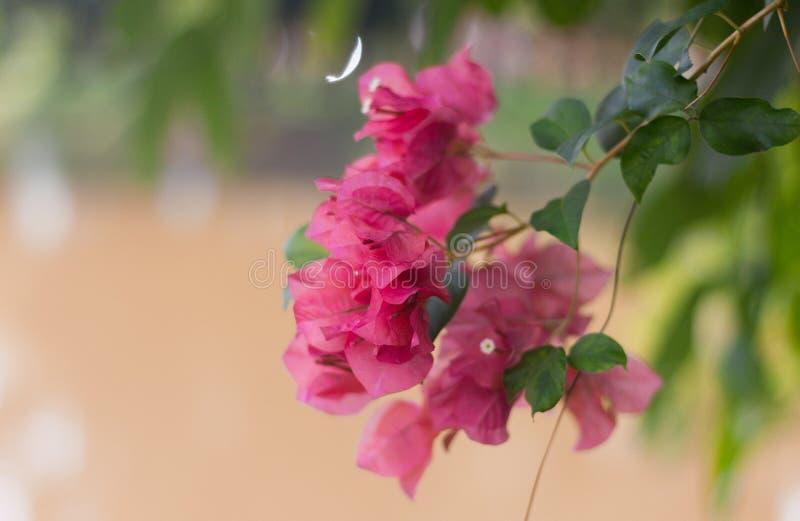 Fioritura dei fiori di rosa del fiore di carta o della buganvillea immagini stock