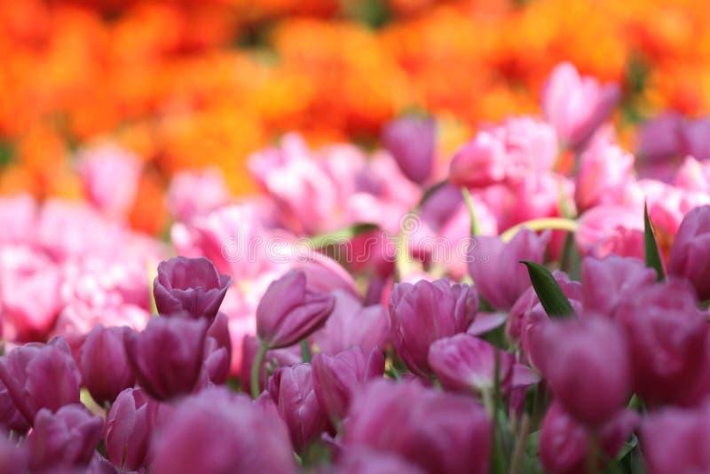 Fioritura dei tulipani variopinti, la Tailandia fotografia stock libera da diritti