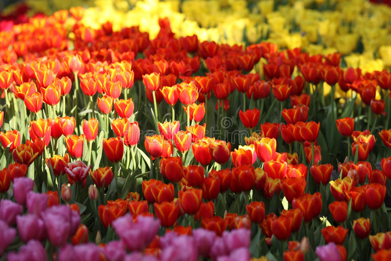 Fioritura dei tulipani variopinti, la Tailandia immagine stock