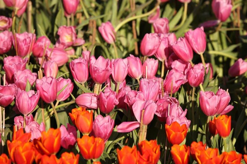 Fioritura dei tulipani variopinti, la Tailandia immagini stock