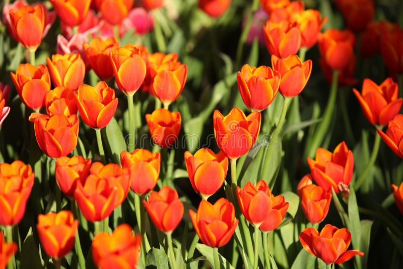 Fioritura dei tulipani variopinti, la Tailandia fotografia stock