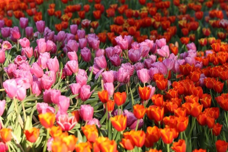 Fioritura dei tulipani variopinti, la Tailandia fotografie stock libere da diritti