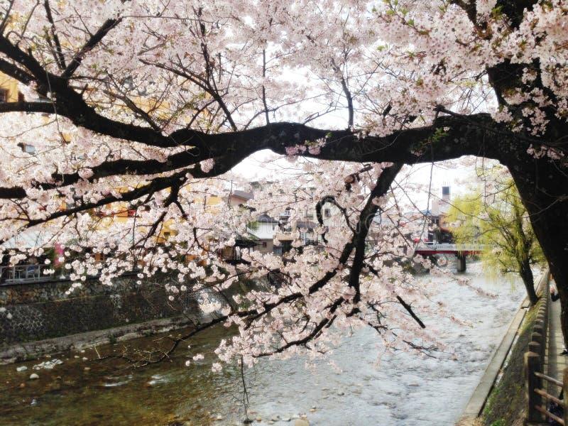 Fioritura del bossom della ciliegia nel Giappone fotografia stock