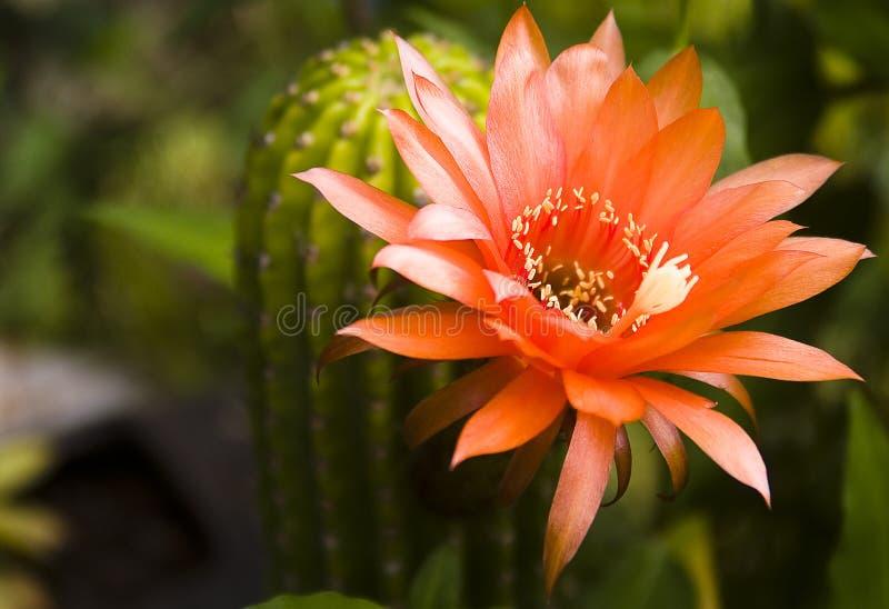 Fioritura del fiore del cactus fotografia stock libera da diritti