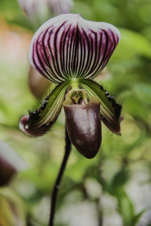 Fioritura del fiore dell'orchidea con il fuoco molle immagini stock