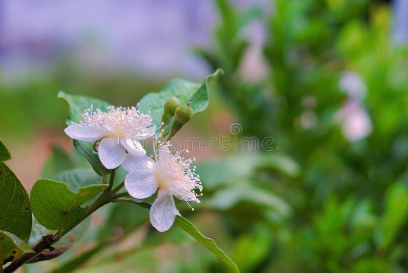 Fioritura del fiore della guaiava nel giardino immagini stock libere da diritti