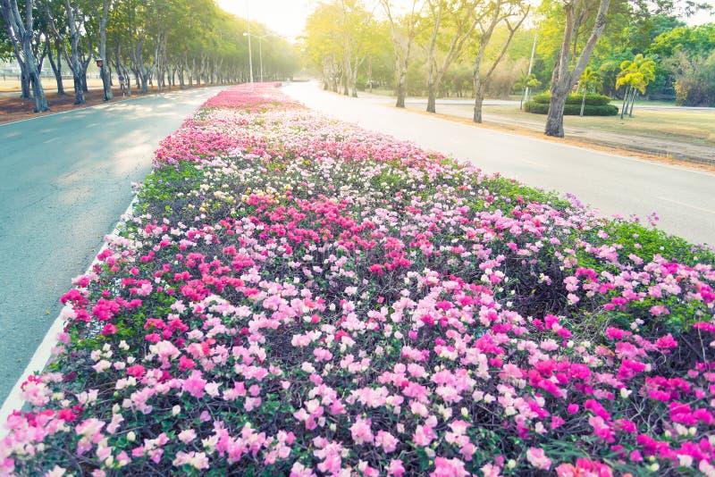 Fioritura del fiore di carta della buganvillea fotografia stock