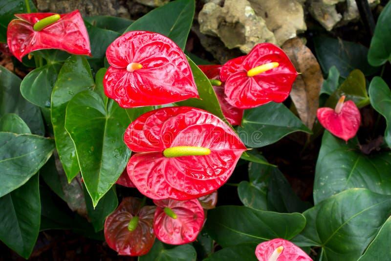 Fioritura del fiore di fenicottero o dell'anturio in giardino Fiore di fenicottero rosso fotografia stock