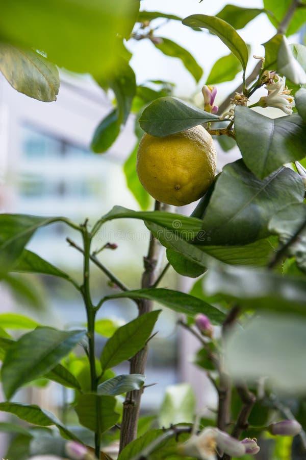 Fioritura del limone fotografie stock