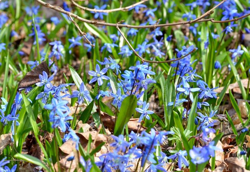 Fioritura delicata nella foresta, presagi di siberica di scilla dei fiori della molla fotografie stock