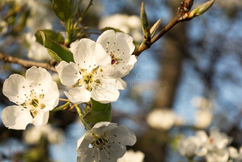 Fioritura dell'albero della primavera immagine stock libera da diritti