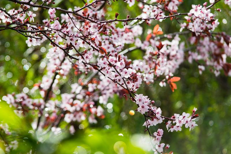 Fioritura dell'albero di ciliegia susina Ramo di un prunus cerasifera del susino della foglia di porpora fotografia stock libera da diritti