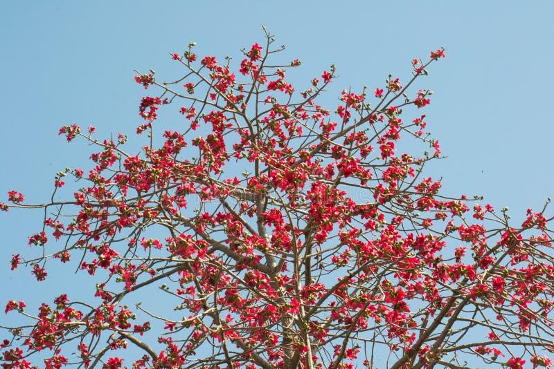 Fioritura dell'albero di Semal della ceiba del Bombax del cotone di seta immagini stock libere da diritti