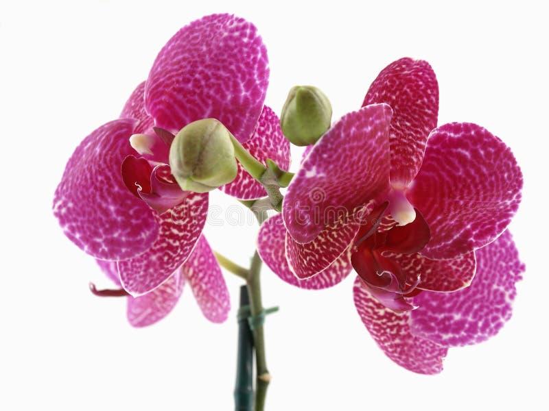 Fioritura dell 39 orchidea di phalaenopsis fotografia stock for Orchidea fioritura