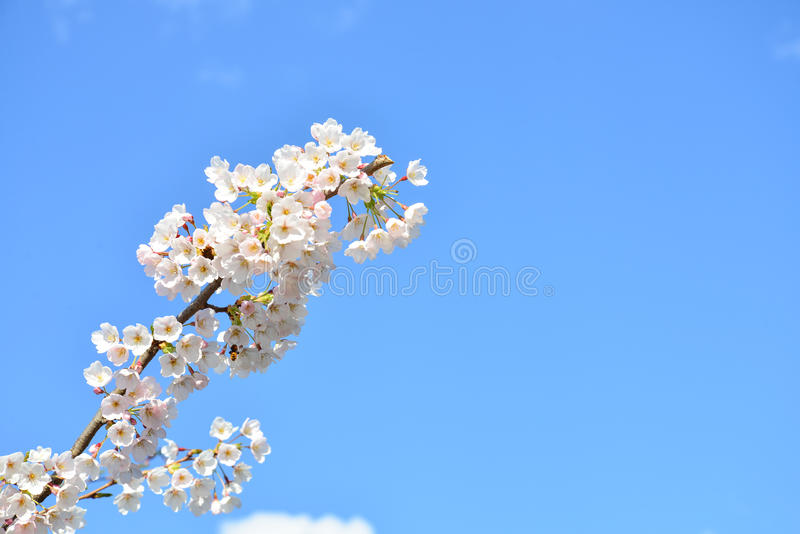 Fioritura della ciliegia a Francoforte immagine stock libera da diritti