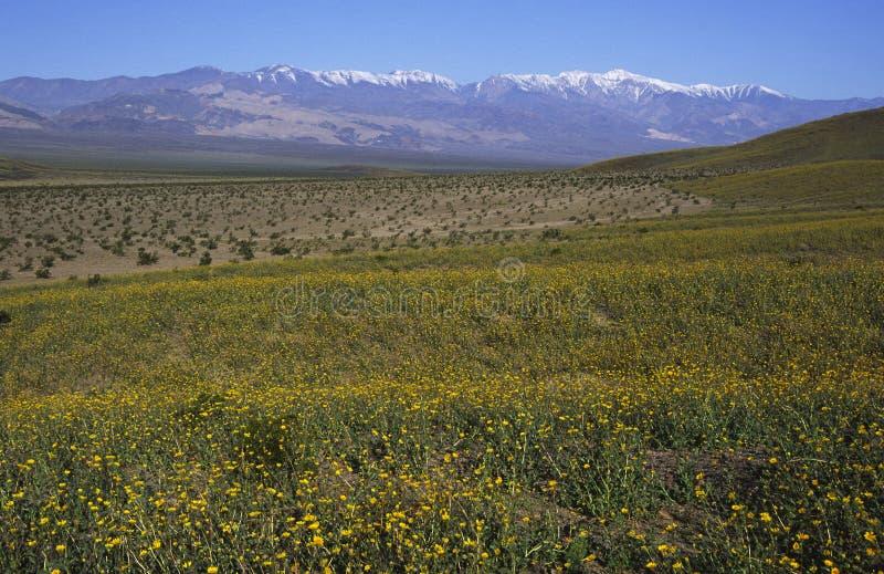 Fioritura della sorgente in Death Valley fotografia stock libera da diritti
