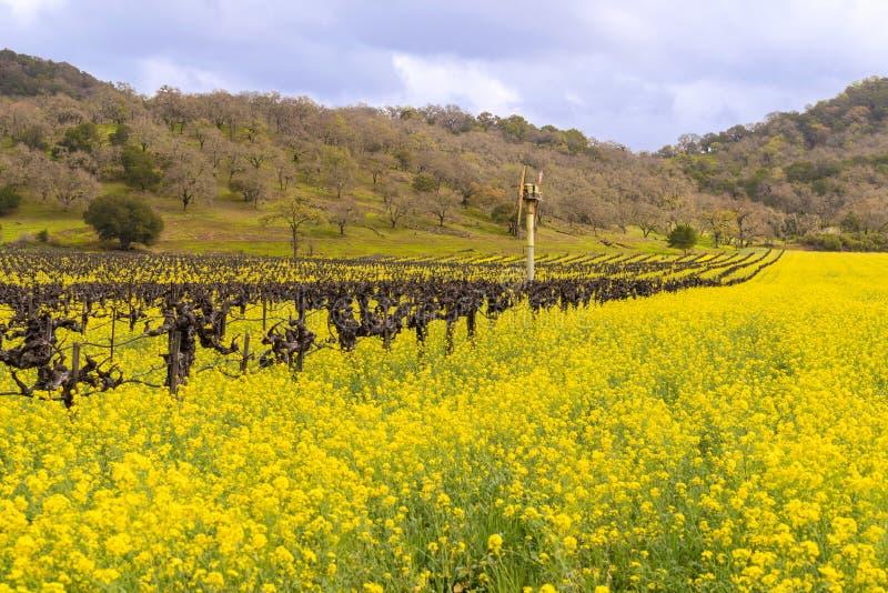 Fioritura delle vigne e della senape di Napa Valley fotografia stock libera da diritti