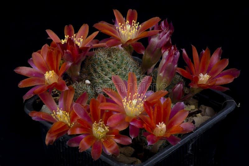 Fioritura dello PS di Rebutia del cactus, fotografia stock libera da diritti