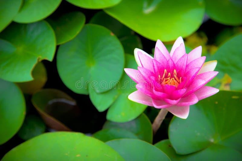 fioritura dentellare del fiore di loto fotografia stock