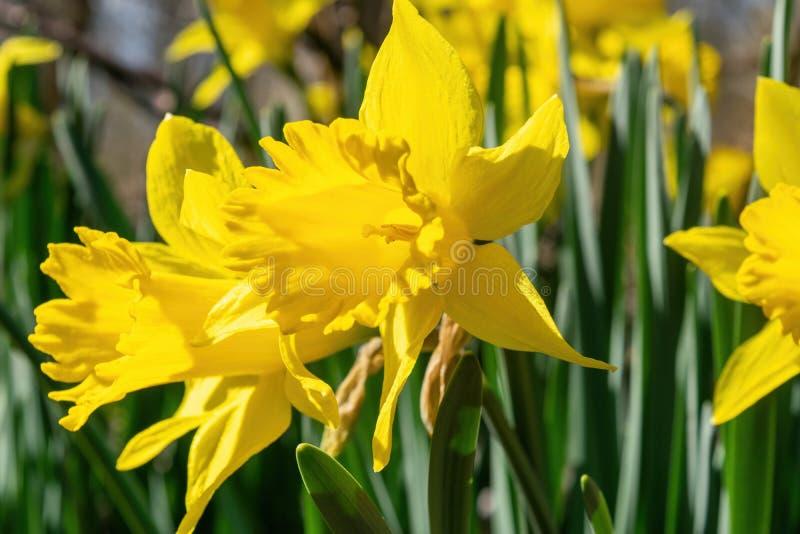 Fioritura di Daffodills fra erba verde succulente, un bello giorno di molla in anticipo a Upstate New York immagine stock